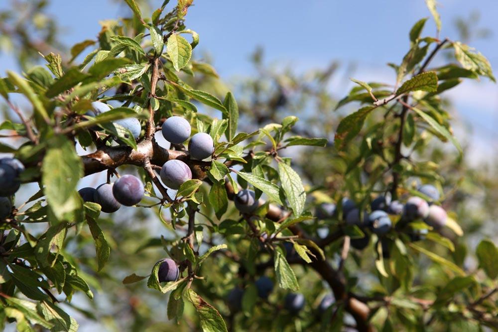 Acai-Beeren der Kohlpalme